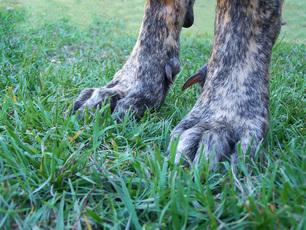 dew claws